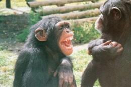 Postcard - Chimpanzees At Monkey World. A - Monkeys
