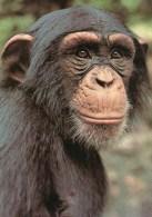 Postcard - Chimpanzee At London Zoo. A - Monkeys
