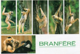 Postcard - Gibbons At Branfere. 2230 - Monkeys
