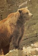 Postcard - Brown Bear At Highland Wildlife Park. 5001 - Bears