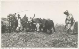 ERITREA -ETHIOPIA  COSTUMI DELL ERITREA,Asmara  Foto Lusvardi - Gardien De Boeufs, Old Postcard - Eritrea