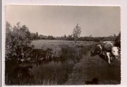 22 - ROSTRENEN: Vallée De Pont-Croix - Vaches Au Pâturage - Cpsm Années 50 - - Frankreich