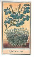 Chromo - Bon Point - F. Nathan - Lobelia Erinus (fleurs) - Trade Cards
