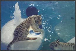 United States, White Tigers At  Mirage, Las Vegas. - Tigri