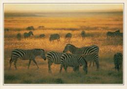 TANZANIA  SERENGETI:  PARCO NAZIONALE  ZEBRE DI GRANT     (NUOVA CON DESCRIZIONE DEL SITO SUL RETRO) - Tanzania
