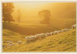 MORRINSVILLE:  ALLEVAMENTO DI PECORE      (NUOVA CON DESCRIZIONE DEL SITO SUL RETRO) - Nuova Zelanda