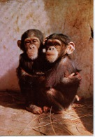 Côte Occidentale D´Afrique : Guinée équatoriale - RIO MUNI Maman Et Bébé Chimpanzés (animaux Singes) - Guinée Equatoriale