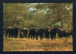 (1305) AK Kenya - Buffalo Herd - Kenia