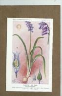 SANTE - PLANTES MEDICINALES - Laboratoire Fumouze - Illustrateur H. FRANTZ - Dos : Utilisation - Jacinthe Des Bois - Salute
