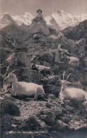 Berner Oberland Chèvre Et Chevrier, Ziegen (8794) - Animaux & Faune