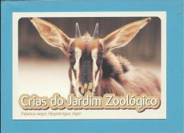 Palanca-negra ( Hippotraggus Niger Niger ) - Crias Do Jardim Zoológico - Lisbon ZOO Lisboa - Portugal - Animaux & Faune