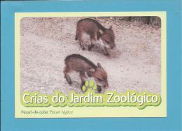 Pecari-de-colar ( Pecari Tajacu ) - Crias Do Jardim Zoológico - Lisbon ZOO Lisboa - Portugal - Pigs