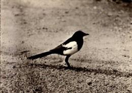 PIE...CPSM GRAND FORMAT OFFERTE PAR TRANSFUSINE - Oiseaux