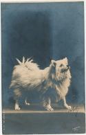 CHIENS - DOGS - Jolie Carte Fantaisie Chien - Loulou - Chiens