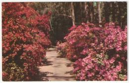Magnolia Gardens, Charleston, S.C. - Thomas E-13279 - Charleston