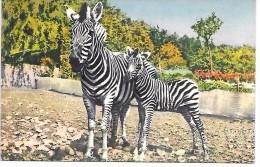 ZEBRES  - Illustration - 182 - Zebra's