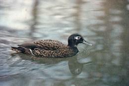 Postcard - Laysan Teal At The Wildfowl Trust. W.L.1801 - Birds