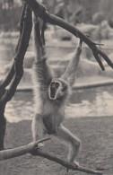 CPA - Gibbon à Mains Blanches - Parc Zoologique Du Bois De Vincennes - Singes