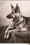HUNDE - DEUTSCHER SCHÄFERHUND / German Sheep Dog / Chien De Berger / Herdershond, 1961 - Hunde