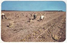 Picking Long Island Potatoes, Long Island, N.Y. - Long Island