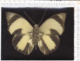 PAPILLON   -       AGRIAS     CLAUDIA     -  Guyane  Française - Butterflies