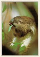 AUSTRALIA   UN KOALA CHE SI NUTRE DI EUCALIPTO      (NUOVA CON DESCRIZIONE DEL SITO SUL RETRO) - Australia