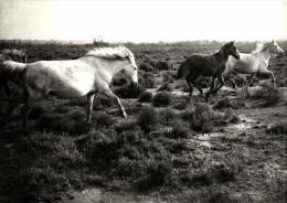 86707 - Animaux      Chevaux En Camargue (13) - Paarden