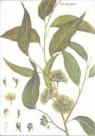 Eucalyptus. Collection Botanica Lamarck. Flore Du Monde. - Fleurs, Plantes & Arbres