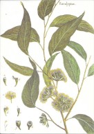 Eucalyptus. Collection Botanica Lamarck. Flore Du Monde. - Non Classés