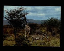 ANIMAUX - ZEBRES - Afrique - Girafe - Zèbres