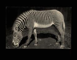 ANIMAUX - ZEBRES - Zoo - PARIS - - Zèbres