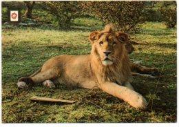 Safari Park Rio Leon Leeuw Lion Léon Löwe  Albinana Espana Spanje Espagne - Lions