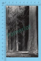 Real Photo ( Moonlight In The Redwoods, 1901 Laws )   POSTCARD 2 SCANS - Fleurs, Plantes & Arbres