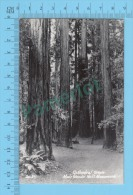 Real Photo ( Cathedral Groove Muir Woods Nat´l Monument, Zad 29  )   POSTCARD 2 SCANS - Arbres