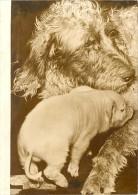 Piglet Pig Suckling Setter Dog France Old Photo 1954 - Photographs