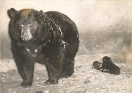 American Baribal Bear Birth Vincennes Zoo Photo 1953 - Photographs