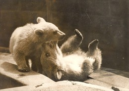 Playful White Bear Cubs London Zoo England Photo 1958 - Photographs
