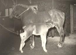 Horse & Colt Agricultural Fair France Old Photo 1955 - Photographs