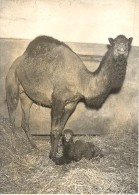 Camel Birth Family Zoological Park Paris Old Photo 1953 - Unclassified