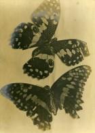 Royaume Uni Lancashire Fleetwood Composition Papillon Ancienne Photo 1897 - Old (before 1900)