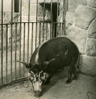 Allemagne Berlin Jardin Zoologique Porc D Afrique Ancienne Stereo Photo Stereoscope NPG 1900 - Stereoscopic
