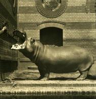 Allemagne Berlin Jardin Zoologique Hippopotame Ancienne Stereo Photo Stereoscope NPG 1900 - Photos Stéréoscopiques