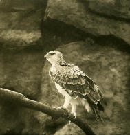 Allemagne Berlin Jardin Zoologique Aigle Martial Ancienne Stereo Photo Stereoscope NPG 1900 - Stereoscopic