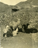 Bolivie Plateau Groupe De Lama Ancienne Stereo Photo Stereoscope NPG 1900 - Stereoscopic