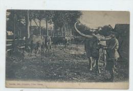 Phnom Penh (Cambodge) :  Elevage De Buffles Domestiques Avec GP Du Fermier  En 1905 (animé) PF. - Cambodia