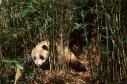 ANIMAUX - PANDA - Chine - Animales