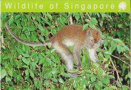 Postcard Singapore Macaque Monkey - Singes