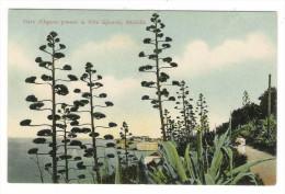 CROATIE  /  DOPISNICA  /  RAGUSA  /  VIALE  D' AGAVE  PRESSO  LA  VILLA  GJIVOVIC   ( Cactus ) - Croatie