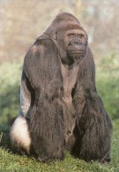 Postcard - Lowland Gorilla At Jersey Wildlife Preservation Trust. B - Monkeys