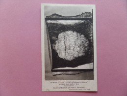 45564 POSTCARD: BRITISH MUSEUM (NATURAL HISTORY): Model Of A Fungus (Hydnum Erinaccus) Growing In A Hollow Tree. - Museum
